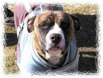 American Staffordshire Terrier Dog for adoption in Peconic, New York - Romeo