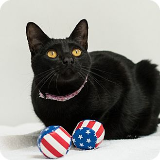 Domestic Shorthair Cat for adoption in Houston, Texas - Dracula