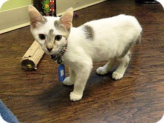 Domestic Shorthair Kitten for adoption in The Colony, Texas - Reese