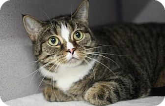 Domestic Shorthair Cat for adoption in Voorhees, New Jersey - Maude