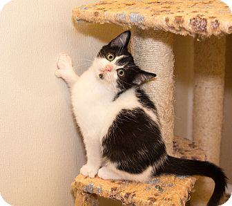 Polydactyl/Hemingway Kitten for adoption in Seville, Ohio - Tyler