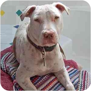 American Staffordshire Terrier/Pointer Mix Puppy for adoption in Redondo Beach, California - Jerry