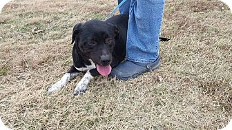 Australian Cattle Dog/Labrador Retriever Mix Dog for adoption in Union City, Tennessee - River