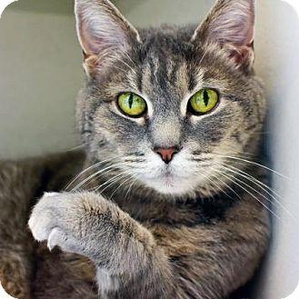 Domestic Shorthair Cat for adoption in Denver, Colorado - Pandora