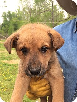 Husky Mix Puppy for adoption in Hohenwald, Tennessee - Stuart