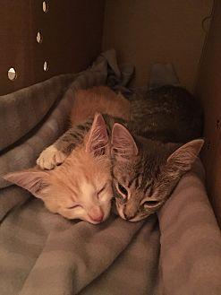 Domestic Shorthair Kitten for adoption in Las Vegas, Nevada - ollie