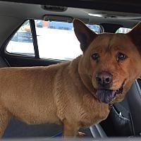 Adopt A Pet :: Belle - Marina del Rey, CA