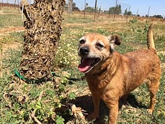 Terrier (Unknown Type, Small)/Chihuahua Mix Dog for adoption in Elk Grove, California - TULLAH