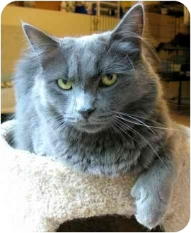Domestic Longhair Cat for adoption in Plainville, Massachusetts - Snoots