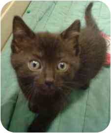 Domestic Shorthair Kitten for adoption in Walker, Michigan - Shun