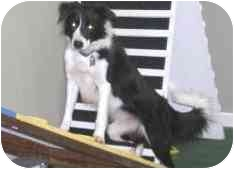 Border Collie Dog for adoption in Tiffin, Ohio - Maggie--ACTIVE