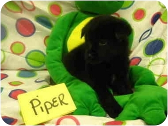 Labrador Retriever/German Shepherd Dog Mix Puppy for adoption in Spruce Pine, North Carolina - Piper