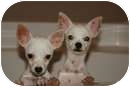 Chihuahua Puppy for adoption in Bethel Springs, Tennessee - Pearl and Opal