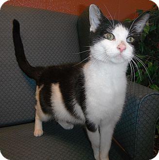 Domestic Shorthair Cat for adoption in Jackson, Michigan - Marsha