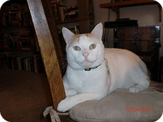 Domestic Shorthair Cat for adoption in San Luis Obispo, California - Sherman