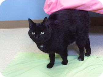 Domestic Shorthair Cat for adoption in Staunton, Virginia - Panther