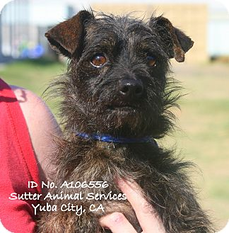 Dachshund Mix Dog for adoption in Yuba City, California - 09/05 Unnamed