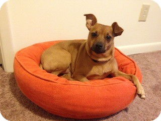 Miniature Pinscher/Chihuahua Mix Dog for adoption in Greenville, South Carolina - Enzo