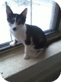 Domestic Shorthair Cat for adoption in Brooklyn, New York - Fred