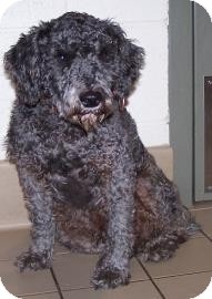Schnauzer (Miniature)/Poodle (Miniature) Mix Dog for adoption in Jackson, Michigan - Bowers