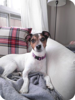 Jack Russell Terrier Dog for adoption in London, Ontario - Rosie