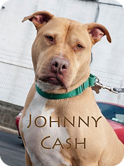 Pit Bull Terrier Mix Dog for adoption in Freeport, New York - Johnny Cash