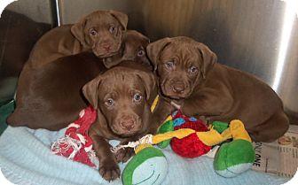 Labrador Retriever Mix Puppy for adoption in Cleveland, Georgia - choco pups