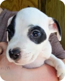 Catahoula Leopard Dog Mix Puppy for adoption in Gainesville, Florida - Nuxe