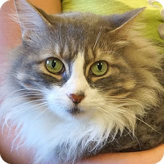 Domestic Longhair Cat for adoption in Sprakers, New York - Franklin