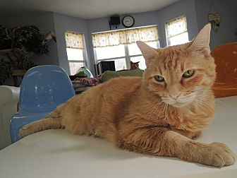 Domestic Shorthair Cat for adoption in House Springs, Missouri - Pyro