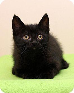 Domestic Shorthair Kitten for adoption in Bellingham, Washington - Theodore