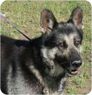 German Shepherd Dog Mix Dog for adoption in Winfield, Kansas - Gunner