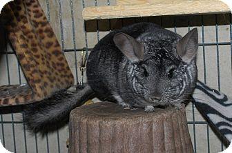"Chinchilla for adoption in Hammond, Indiana - ""Penelope"""