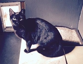 Domestic Shorthair Cat for adoption in BROOKSVILLE, Florida - Tammy