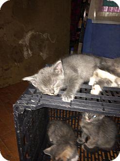 American Shorthair Kitten for adoption in Weatherford, Texas - kittens3