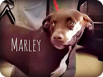 Labrador Retriever/Pit Bull Terrier Mix Dog for adoption in Defiance, Ohio - Marley