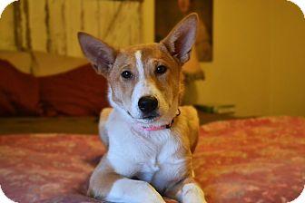Shiba Inu/Basenji Mix Puppy for adoption in Staunton, Virginia - Foxy