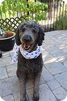 Poodle (Standard)/Labrador Retriever Mix Dog for adoption in Hurricane, Utah - TWILA- ADOPTION PENDING