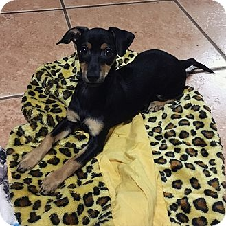 Dachshund/Miniature Pinscher Mix Puppy for adoption in Davie, Florida - Abigail