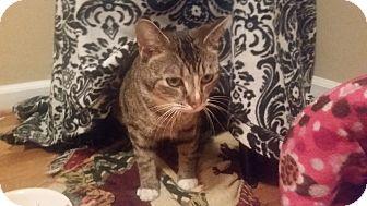 Domestic Shorthair Cat for adoption in Harrisonburg, Virginia - Parsnip (ETAA)