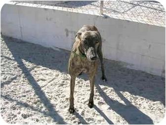 Greyhound Dog for adoption in St Petersburg, Florida - George