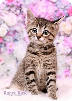 Domestic Shorthair Kitten for adoption in Sterling Heights, Michigan - Storm