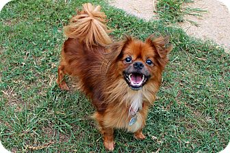 Pekingese Mix Dog for adoption in Shreveport, Louisiana - Squiggy