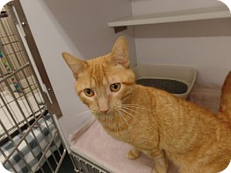 Domestic Shorthair Cat for adoption in Crown Point, Indiana - Thunder Cat
