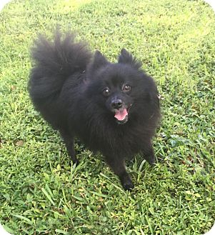 Pomeranian Mix Dog for adoption in Boca Raton, Florida - Spike