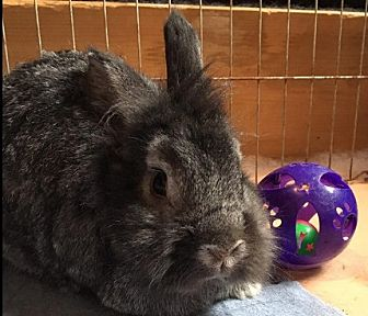 Lionhead Mix for adoption in Erie, Pennsylvania - Cheese Puff