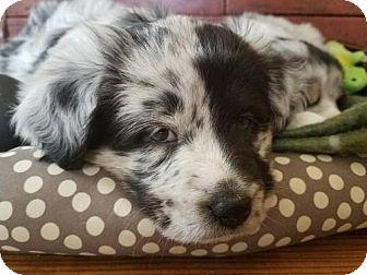 Australian Shepherd/Sheltie, Shetland Sheepdog Mix Dog for adoption in Westminster, Colorado - Lucky