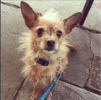 Mixed Breed (Small) Mix Dog for adoption in Beverly Hills, California - Gigi lap dog
