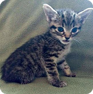 Domestic Shorthair Kitten for adoption in Jefferson, North Carolina - Jazz
