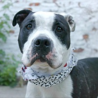 Pit Bull Terrier Mix Dog for adoption in Brooklyn, New York - Snoopy